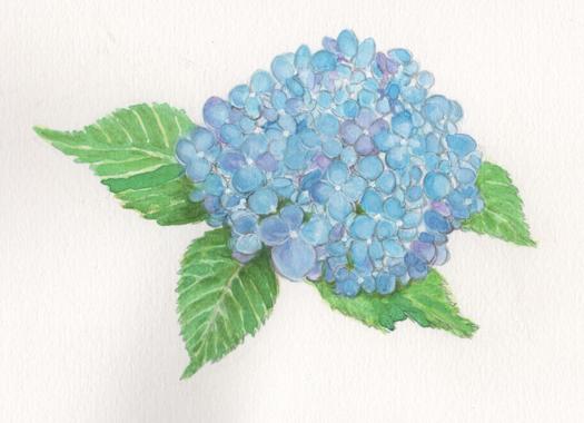 二十四節気「夏至(げし)」紫陽花