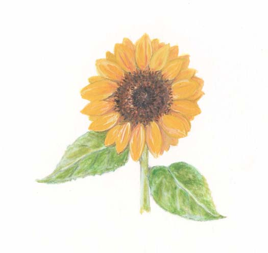二十四節気「大暑(たいしょ)」向日葵
