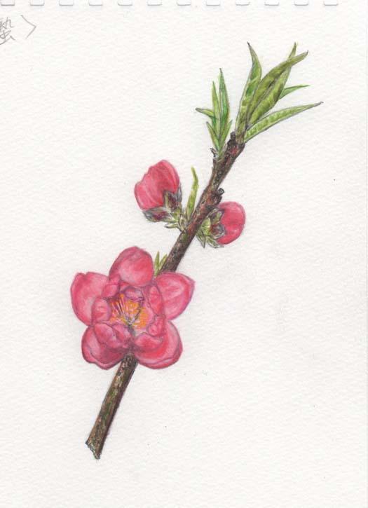 「二十四節気(啓蟄)」桃の花