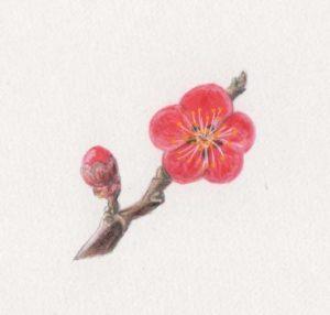 二十四節気「立春(りっしゅん)」紅梅