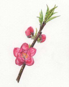 二十四節気「啓蟄(けいちつ)」桃の花